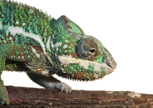 panther-chameleon-300px-wide
