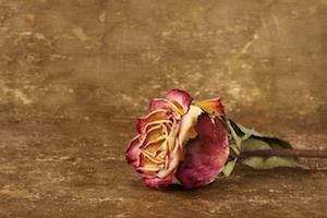 dried-rose-keywords
