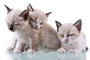 kitten triplets