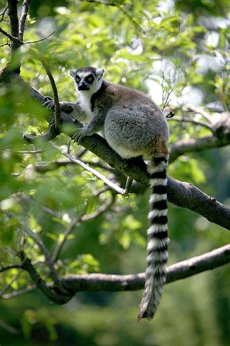 lemur tail