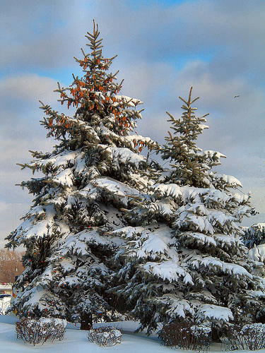 snowy evergreen tree