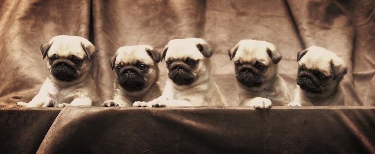 herding-pugs