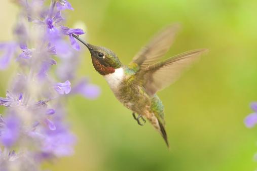 hummingbird-algorithm