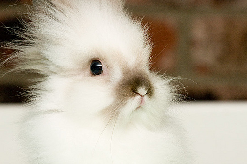 fluffy-white-bunny-aw-1