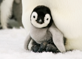 penguin-chick-cropped