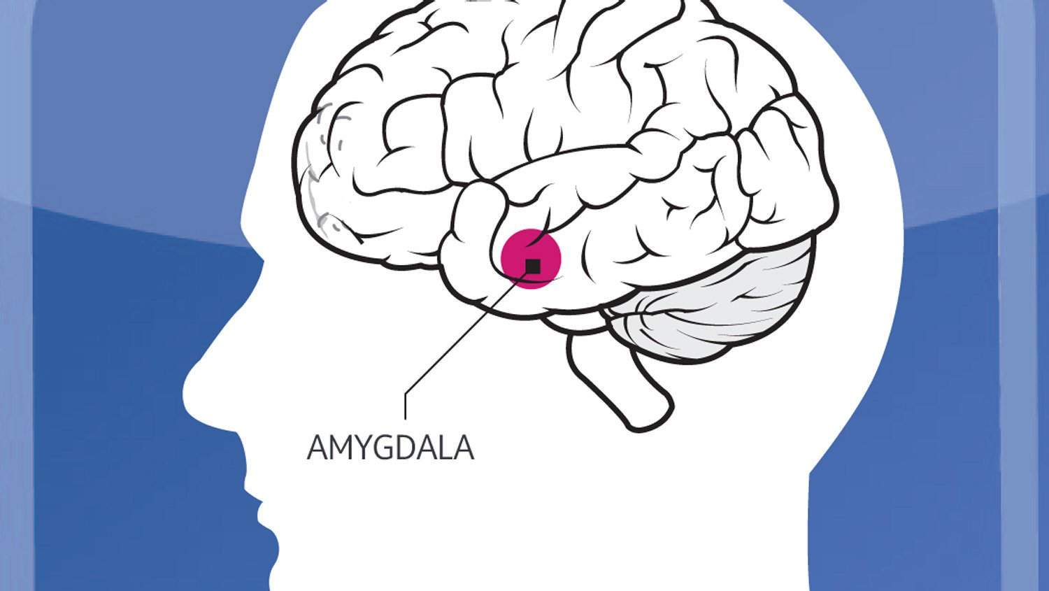 Amygdala.jpg  Dagnabbit: Why We Love Marketers Who Curse Amygdala