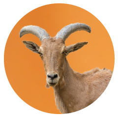 Goat-office-pet.png