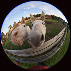 Horses looking into fisheye external lens attached to phone camera
