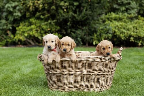 Golden retriever puppies in a basket.
