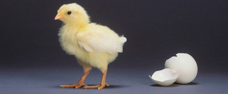 hatched_chick.jpg