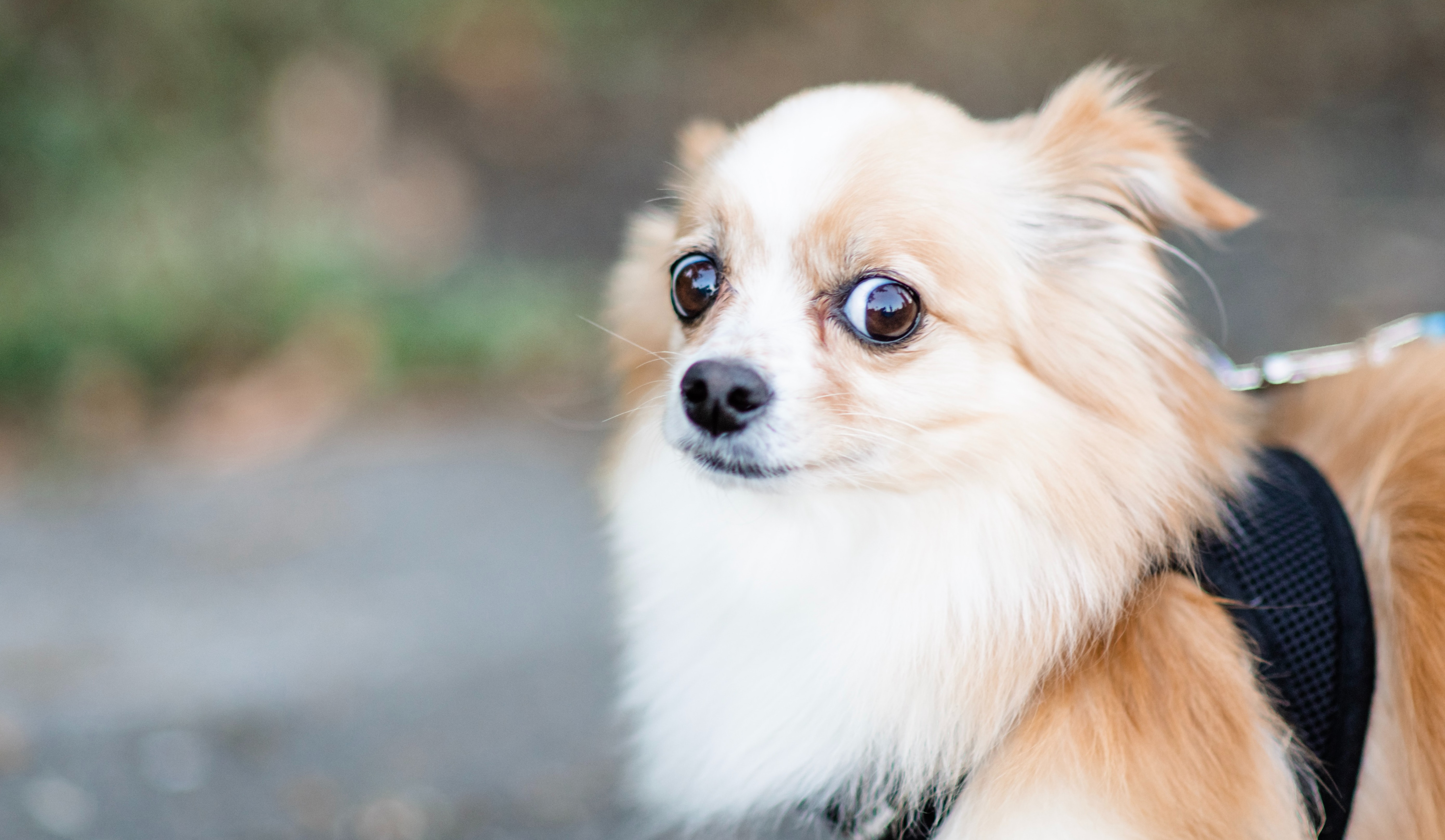 Apprehensive long-haired chihuahua